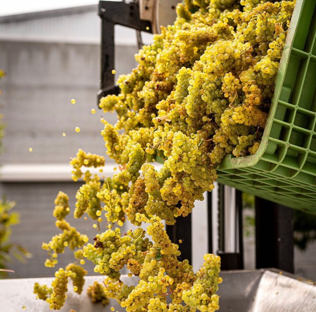 Recently picked Chardonnay from the McHenry Hohnen Vineyard tipped into the press destined for Laterite Hills