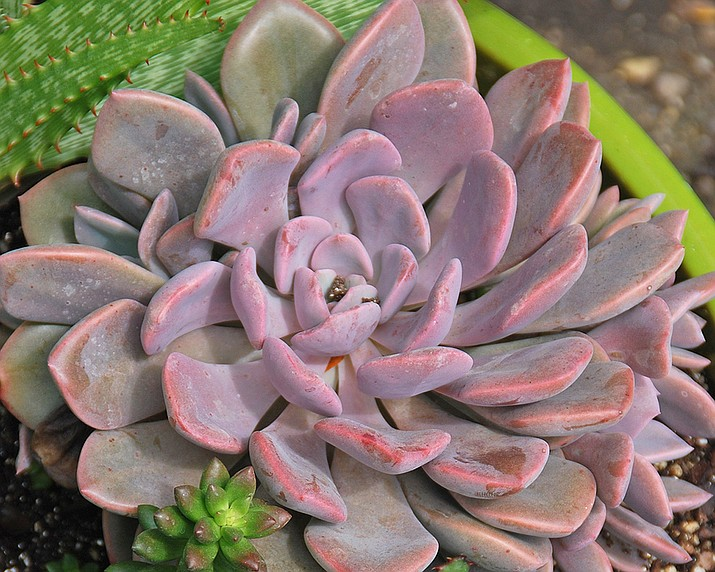 Keep cacti, succulents and other plants requiring high light within 2 feet of an east- or west-facing window. (Courtesy)