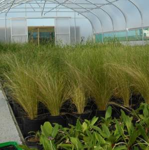 Propagation tunnel, newly potted on ornamental grasses. Western Plant Nursery, Sligo