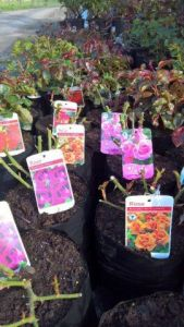 Roses in variety, climbing roses. floribunda and hybrid Teas. Western Plant Nursery, Sligo