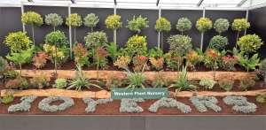 Selection of Astelia, Pieris, Euonymus and Dryopteris, create a bright display in the Flower and Nursery Pavilion Bloom 2016. Western Plant Nursery, Sligo