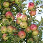 Apple trees (Malus) full of late summer and early autumn fruit. . Western Plant Nursery, Sligo