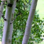 White stem birch, multi stem Himalayan Birch. Western Plant Nursery, Sligo
