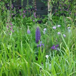 Lupins, Digitalis (foxgloves), Iris, Yeats Garden, Bloom 2015. Western Plant Nursery, Sligo