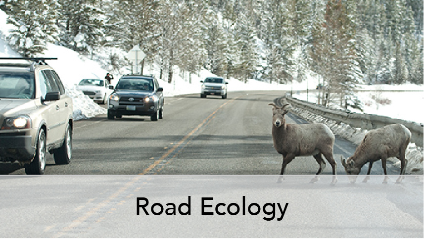 WTI Program Thumb Road Ecology. Image subject, Bighorn sheep on rural highway with oncoming vehicles.