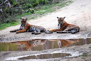 India-Two tigers lay by puddle in middle of dirt road