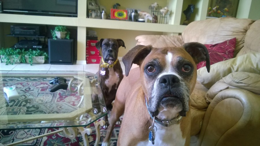 Boxer Pet Sitting Tampa