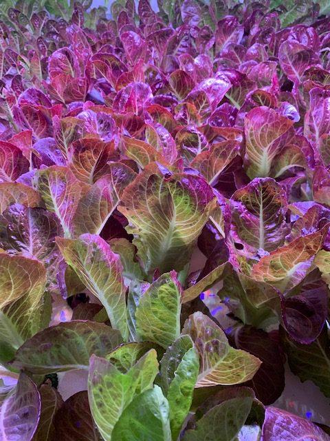 Red Leaf Lettuce A