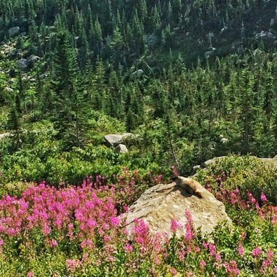 Hoary Marmot enjoying the sun and fireweed