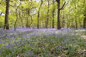 Bluebells bramley fall woods