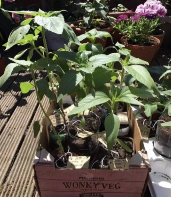 armley sunflower 3