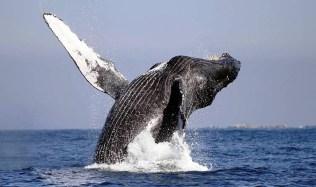 whale-jumping-baja