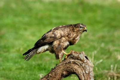 common buzzard about to fly away