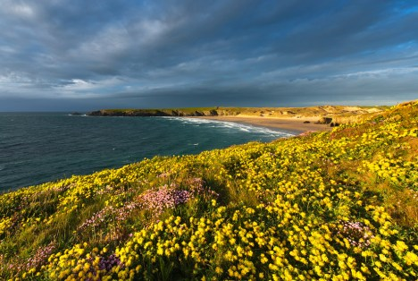 Holywell Bay as seen from Penhale Point with a wonderful display of kidney vetch in the foreground.