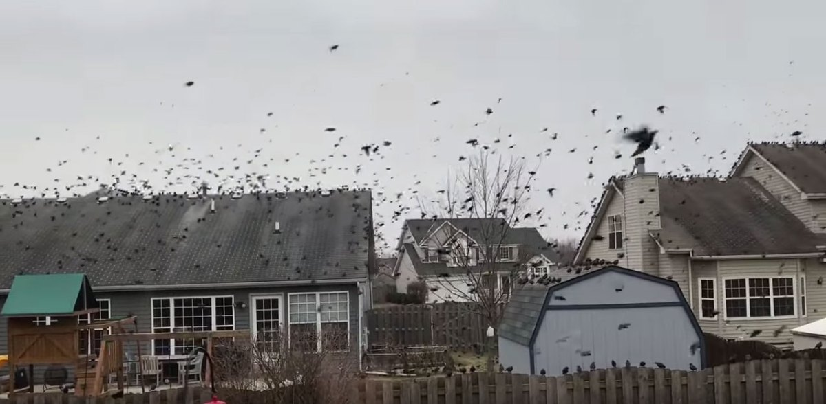 Bird invasion on January 27th, 2017 in Lakeview Estates. Oswego, IL.