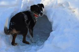 mazy the dog checking out a snow fort