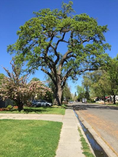 West Sac Oak