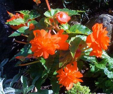 begonias we enjoyed