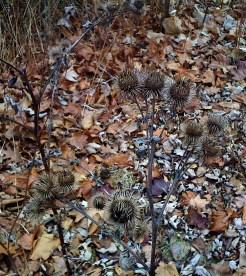 Burdock (bane of my hiking youth!). It follows me everywhere.