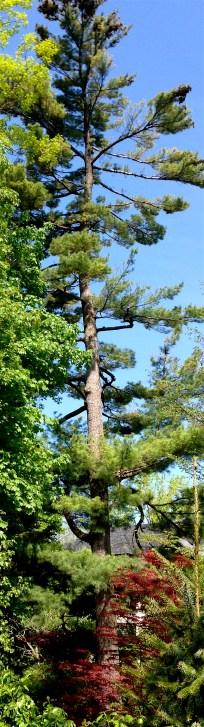 gorgeous tall white pine (thanx, Sally! :-))