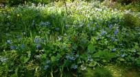 sweet yard full of bluebell-like flowers
