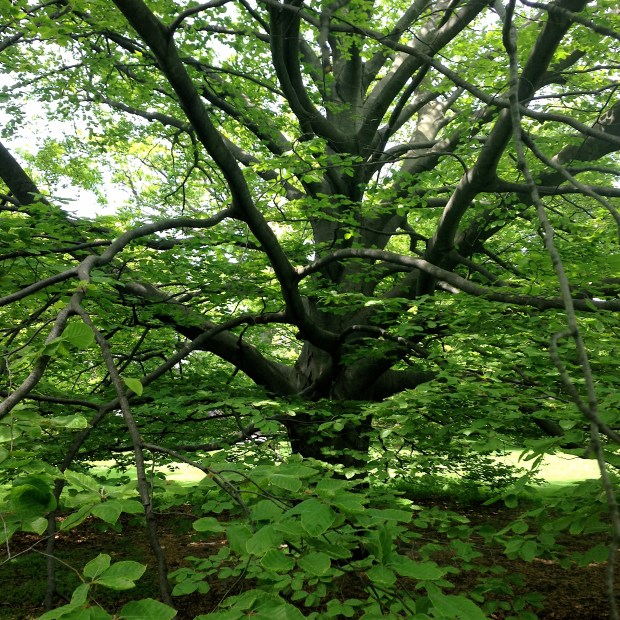 It's true. I adore this old beech tree! Empress of the hill, overlooking the city.