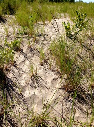 grasses in dunes
