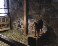 Goat, hopping around in the barn.