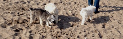 Schnoodle convention on the beach!