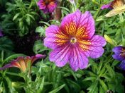 Can't stop thinking about this little clump of blazing colour Salpiglossis.