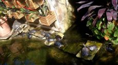 Sixteen painted turtles, basking in the sun and swimming.