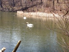 Two swans a-swimming. (And lunching!)
