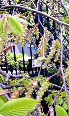 Pretty little buds on Ellis Avenue