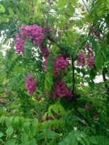 ... it's a Purple Robe Locust, with lovely complex blooms.