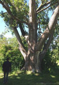Tony and a tall Carolina poplar on Hanlan's Point