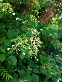 Beautiful climbing hydrangea.