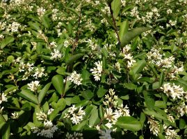 and blooming privet