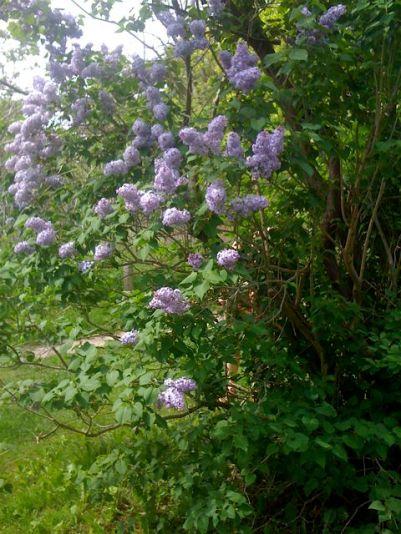 forest lilac in bloom