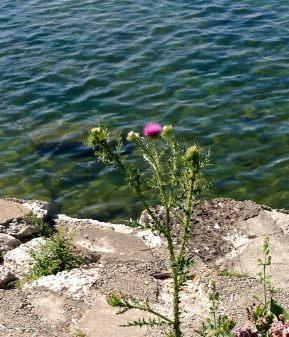 A lonely thistle in bloom on the shore.