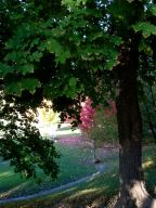 Bickford Park - small fuchsia maple leaves beyond a huge still-green maple.