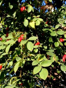 Fall reds include rosehips!