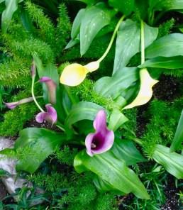 Allan Gardens - calla lilies