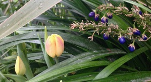 Allan Gardens - tulips and these very interesting purple berries...