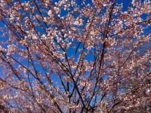 Trinity-Bellwoods cherry tree... looking straight up!