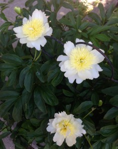 Gorgeous white/yellow peonies on the shady side of Dovercourt - a nice sight on the way home.