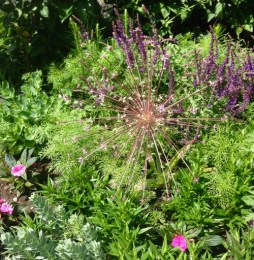 Wow!!! Elizabeth's niece, Carol, is a horticulturist - this is her Fireworks Allium!! (That bloom is about a foot across)