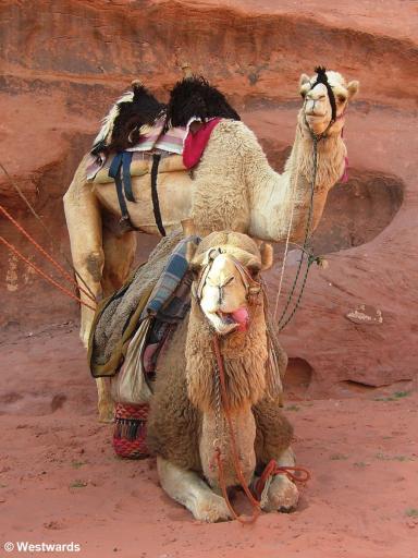 Wadi Rum bedouin camels