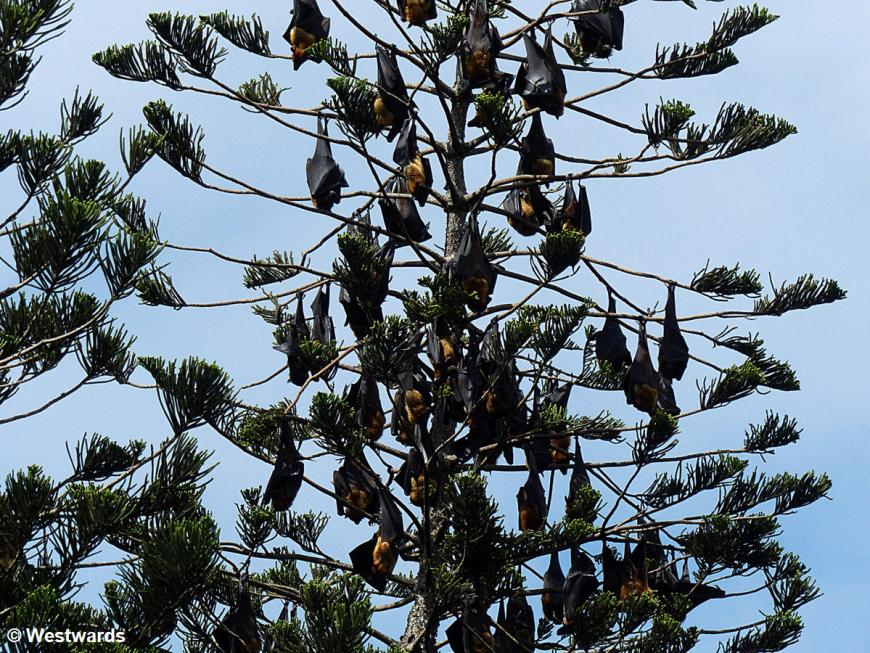 20160125 Kandy Botanischer Garten Flughunde P1230534