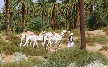 Man with white camels between palm trees