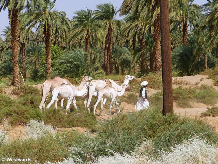 20161115 Nuri camels P1360530
